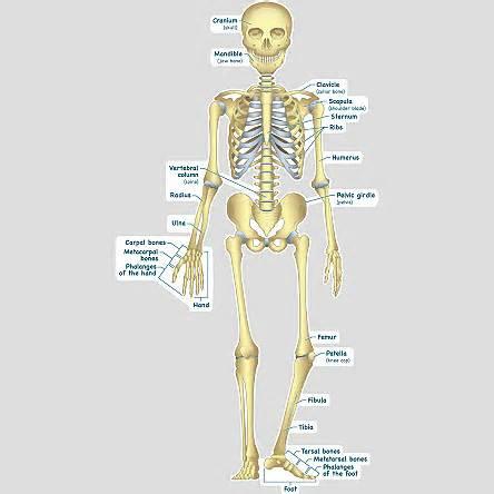 Nowlin fifth grade science skeletal system