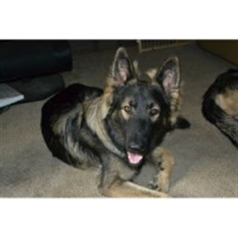 shiloh shepherd puppies for sale search locally for shiloh shepherd breeders nearest you freedoglistings