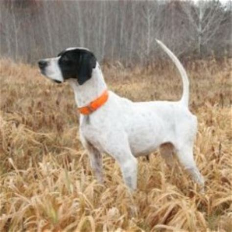 laser pointer for dogs pointer search dogs to consider pointer