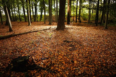 autumn leaves covered the forest floor in the cheshire