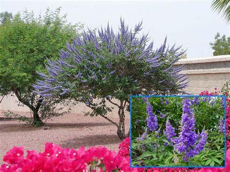 image gallery lavender tree