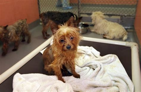 usda puppy mills usda helping to fight puppy mills with new regulations on breeders