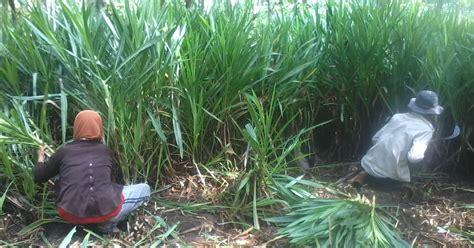 Bibit Odot harga jual bibit rumput odot dan gajah kolonjono murah rumput tamanku