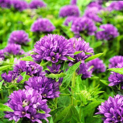 perennial flowers zone 4 old blue perennials forum gardenweb the outdoors pinterest