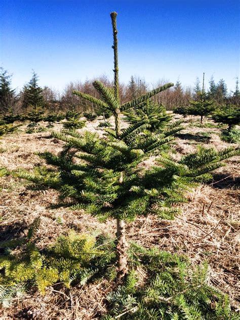 5 u cut christmas tree farms around grays harbor