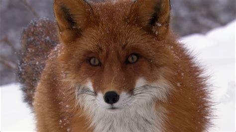 fox looking fox anatomy www pixshark images galleries with a bite