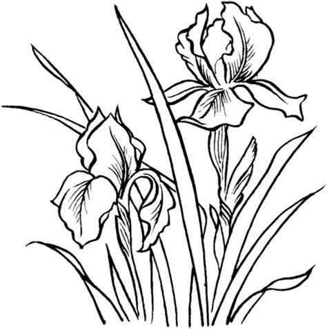 coloring pages of iris flowers 10 images about line drawings of irises on pinterest