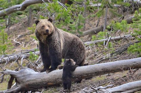 Grizzly Bears Yellowstone National Park U S National Park Service - mother grizzly and cub at gibbon river yellowstone