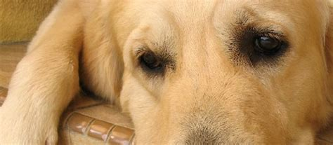 when to euthanize a with hemangiosarcoma last wishes in home pet euthanasia houston