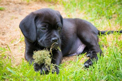 black puggle puppies black puggle puppy dogs puppys and my