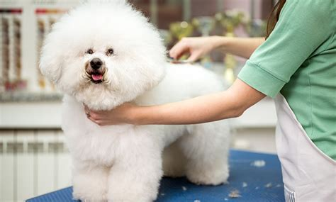how to groom a pomeranian teddy cut teddy haircut for pomeranians haircuts models ideas
