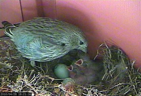 what do house finches eat what do baby house finches eat 28 images what do baby