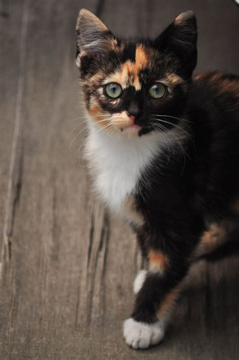 calico cats kittens images  pinterest