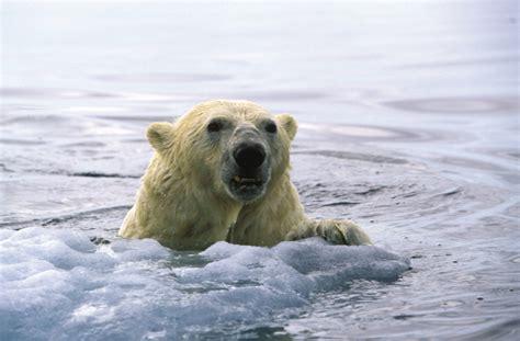 can a their 10 photos of polar bears in the