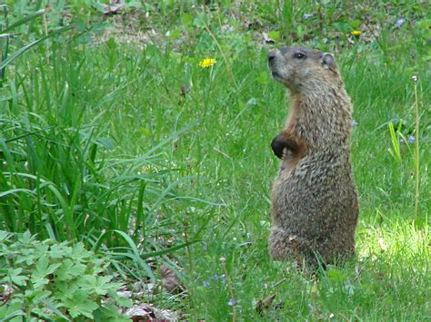 groundhog day morning groundhog on high alert the smell of molten projects in