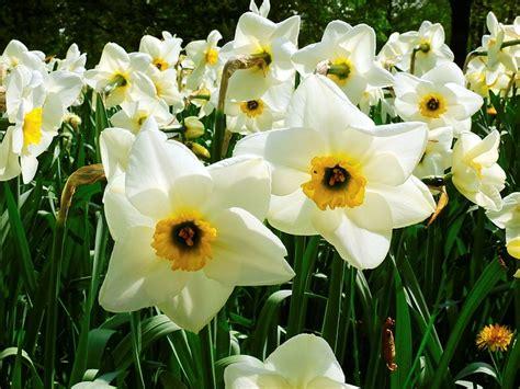 fiori da giardino primaverili fiori primaverili quali sono e come curarli per avere un