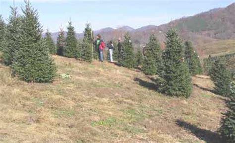 boyd mountain christmas tree farm maggie valley