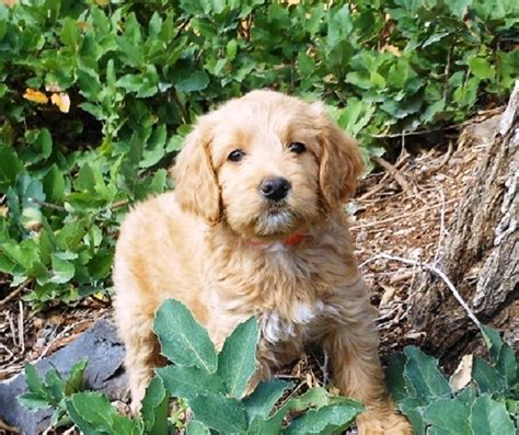 goldendoodle or golden retriever goldendoodle 75 golden retriever assistedlivingcares
