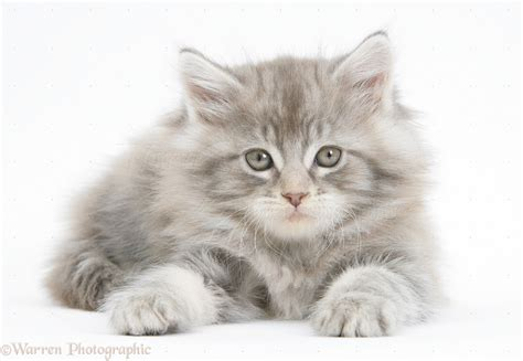 Silver tabby Maine Coon kitten, 7 weeks old photo   WP38052