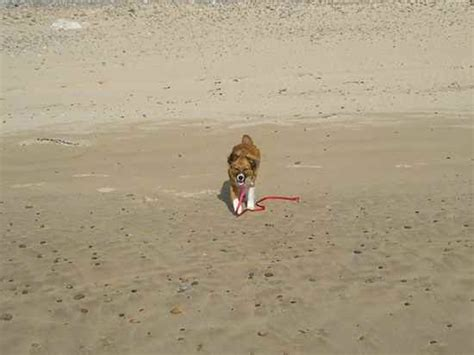 fox terrier x pomeranian pom terrier pom terriers pomeranian x fox terrier