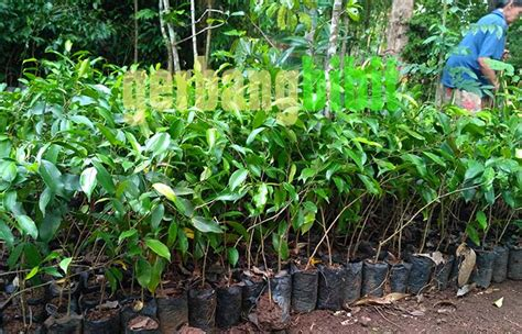 bibit tanaman hias pohon beringin murah situs belanja
