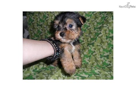 yorkie poo puppies for sale in tennessee yorkiepoo yorkie poo puppy for sale near cookeville tennessee 061e7eec 21d1