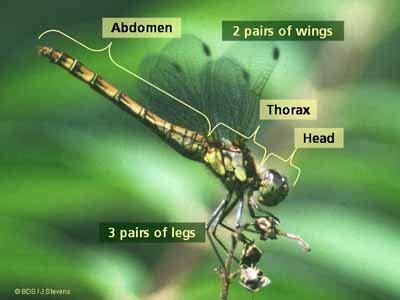 Seribu Sayap sebutkan bagian bagian tubuh jumlah sayap dan jumlah