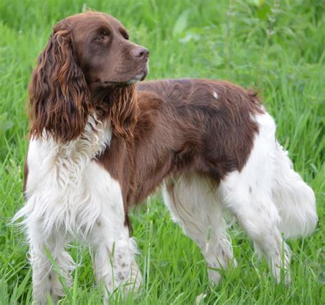 french setter dog breed sporting dogs list of all sporting dog breeds k9