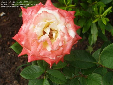 diana princess of wales rose plantfiles pictures hybrid tea rose diana princess of