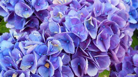 Hortensia Purple purple blue hortensia flowers barbaras hd wallpapers