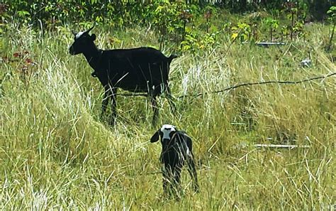 goat c section veterinary medicine whaddyadoallday real life on a