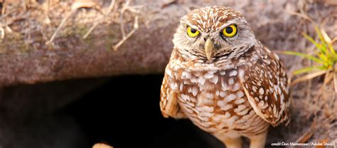 florida burrowing owl becomes a state listed threatened