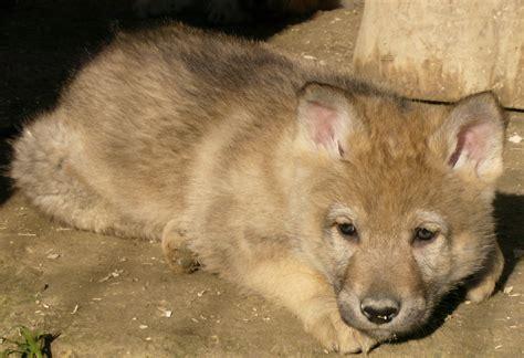 regalo cane lupo cecoslovacco cane lupo cecoslovacco petpassion