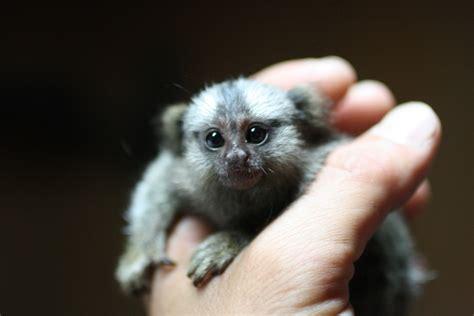 finger sized monkey pygmy marmoset weirdtwist