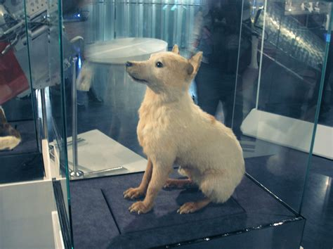 space puppies file belka space jpg wikimedia commons