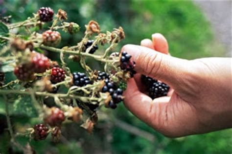 themes of blackberry picking becca s book blog blackberry picking by seamus heaney