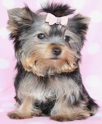 yorkie bows for sale 200 best images about teacup dogs on puppys yorkie puppies for sale and