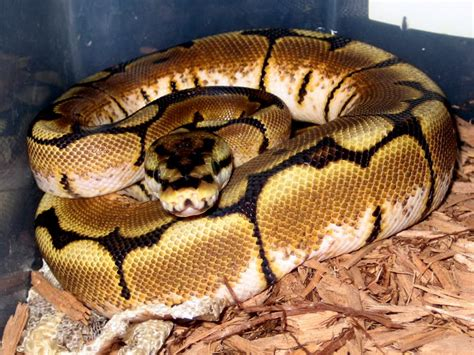Python Is Trouble Shedding by For Sale Supersale Python Collection Faunaclassifieds