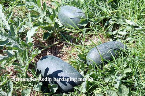 Benih Semangka Kuning Unggul 5 semangka unggul hibrida f1 bebeja