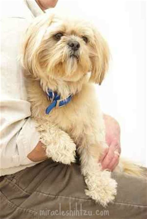 renal dysplasia in shih tzu renal dysplasia in the shih tzu breed the facts