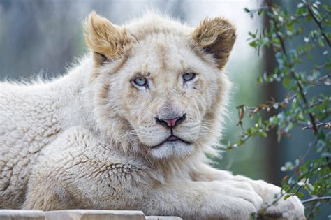 white lion wallpaper dowload
