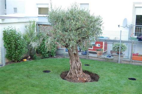 olivenbaum garten olivenbaum pflanzung des baumes dokumentation mit bildern
