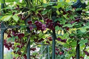 how to grow the chocolate vine akebia quinata