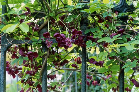 Vine Search How To Grow The Chocolate Vine Akebia Quinata