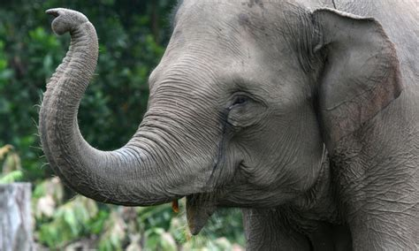 Www Elephant Tub endangered species threatened by unsustainable palm production stories wwf