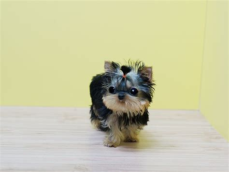 baby yorkie names best 25 mini yorkie ideas on teacup yorkie yorkie puppies and miniature