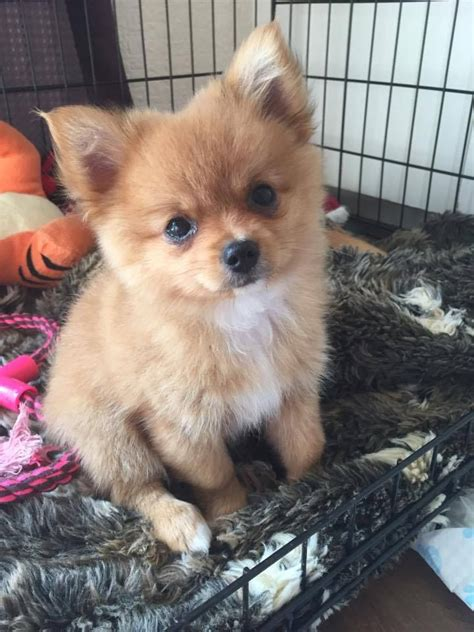 Pomchi Puppies For Sale Torpoint Cornwall Pets4homes