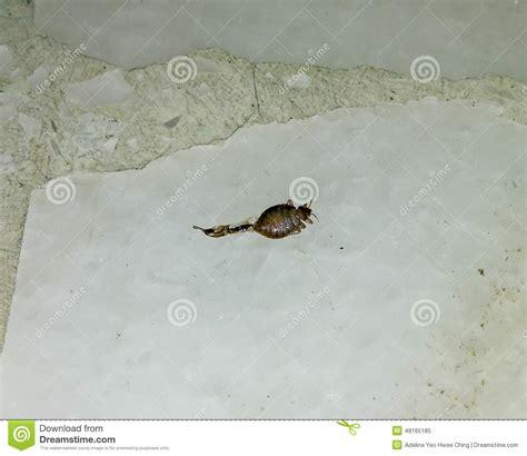 squashed bed bug squashed bedbug stock image image of bedbug squash