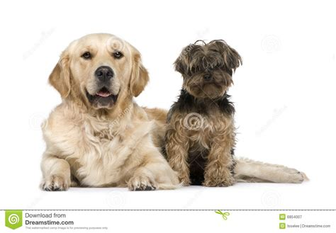 golden retriever yorkie golden retriever 2 years and a terrier royalty free stock photography