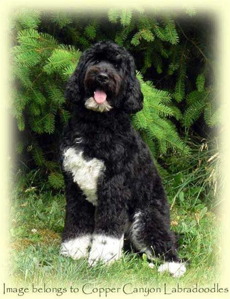 mini labradoodles vancouver bc gorgeous black and white tuxedo labradoodle named stella